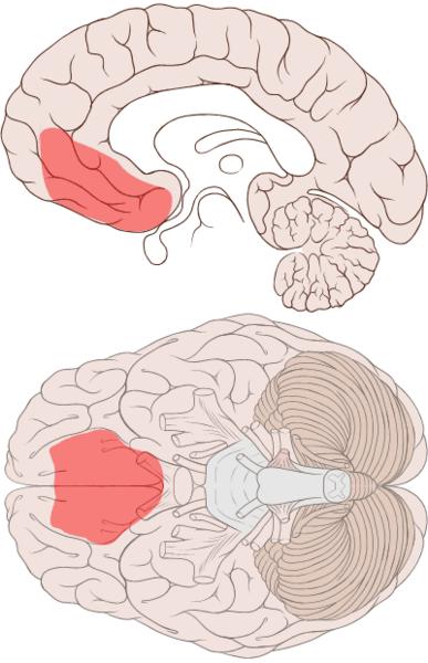 387px-Ventromedial_prefrontal_cortex